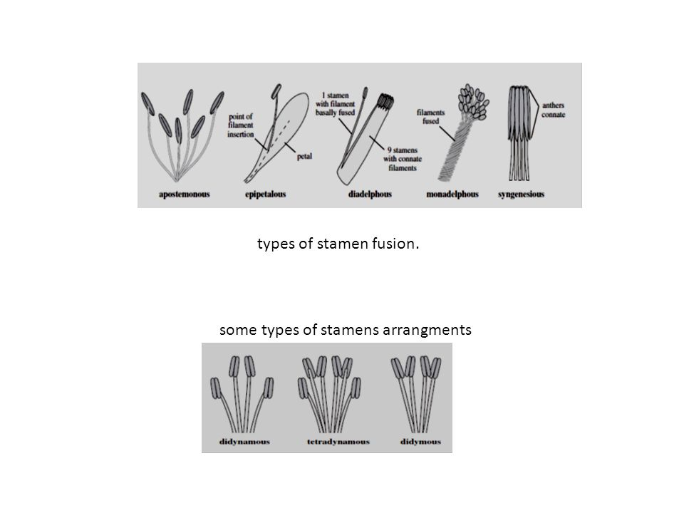 types of stamen fusion. some types of stamens arrangments