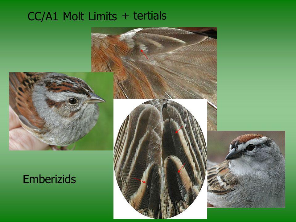 CC/A1 Molt Limits + tertials Emberizids