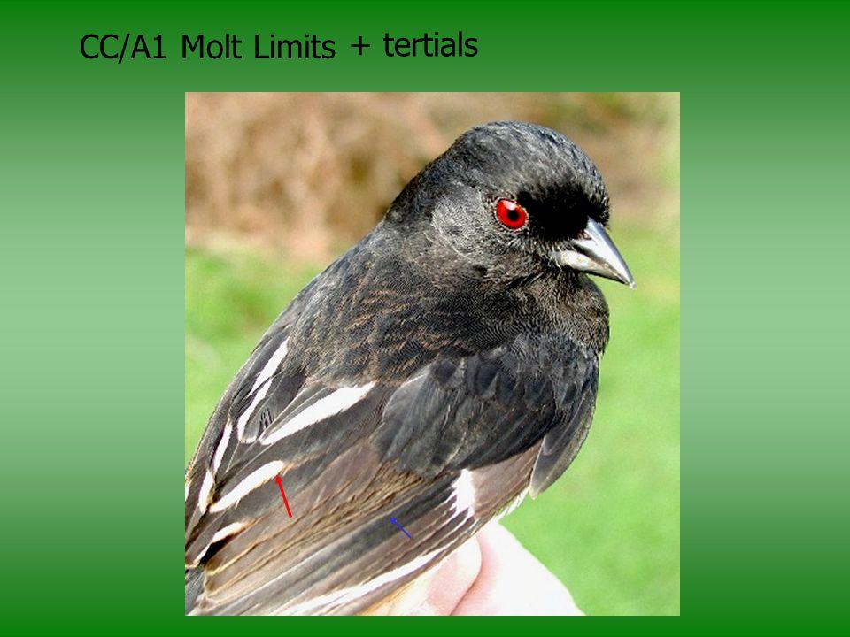 CC/A1 Molt Limits + tertials