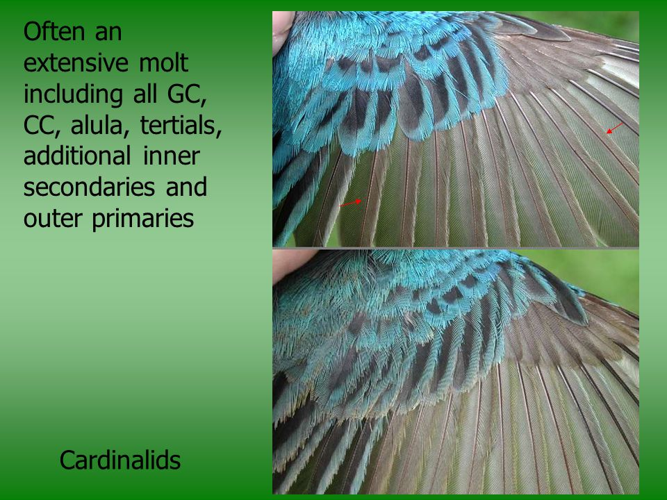 Often an extensive molt including all GC, CC, alula, tertials, additional inner secondaries and outer primaries
