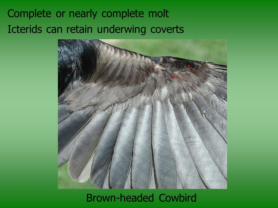 Complete or nearly complete molt Icterids can retain underwing coverts