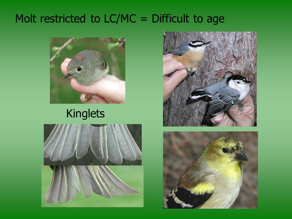 Molt restricted to LC/MC = Difficult to age