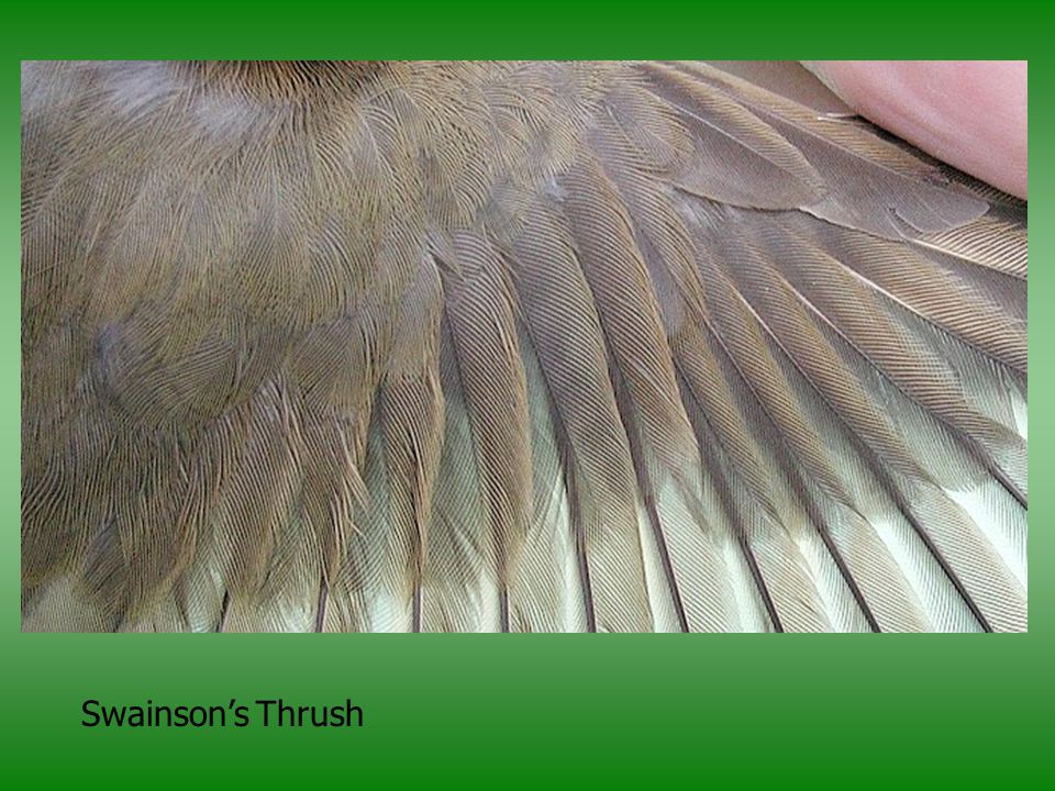 Finally, this photo does not show it but in Swainson's Thrushes, in addition to the molt limit in the GCovs, the feathers under the largest alula feather (A3) can have buffy shaft streaks. If you slide A3 to the side and there are buffy shaft streaks on the under alula coverts = HY/SY, lack of shaft streaks does not necessarily = adult (AHY/ASY).