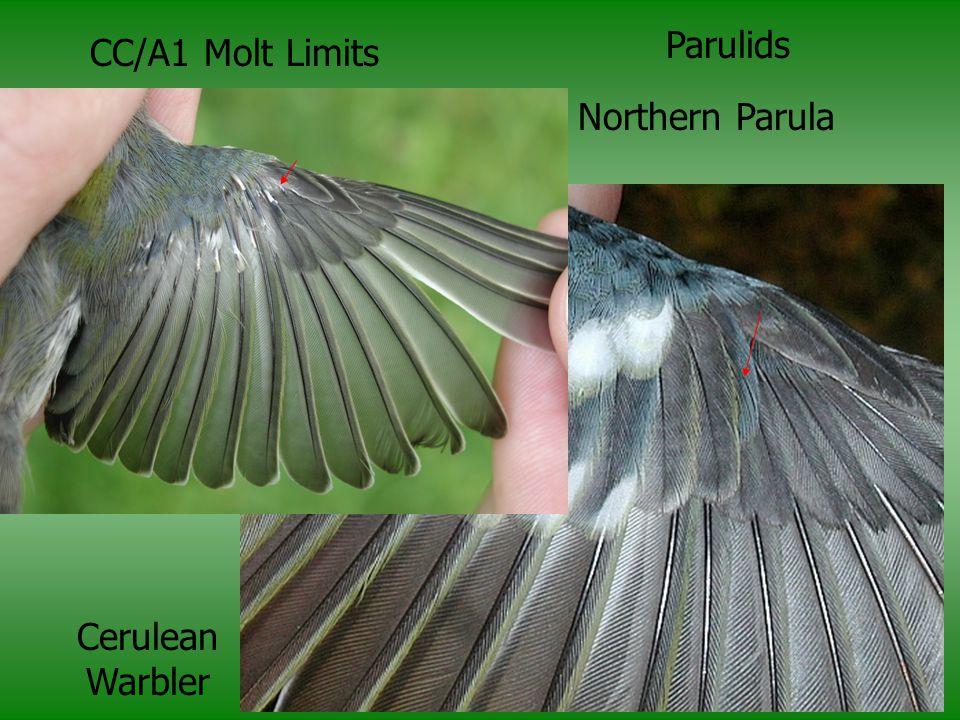 Parulids CC/A1 Molt Limits Northern Parula Cerulean Warbler