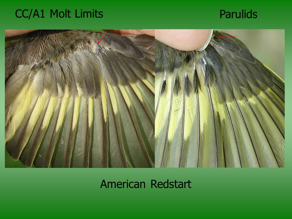 CC/A1 Molt Limits Parulids American Redstart