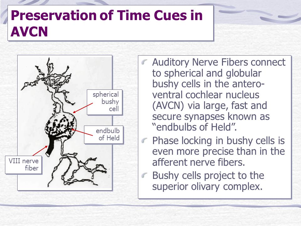 Preservation of Time Cues in AVCN