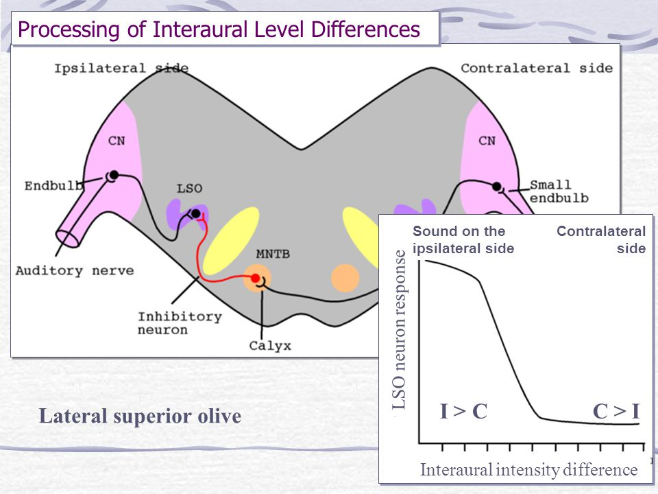 Processing of Interaural Level Differences