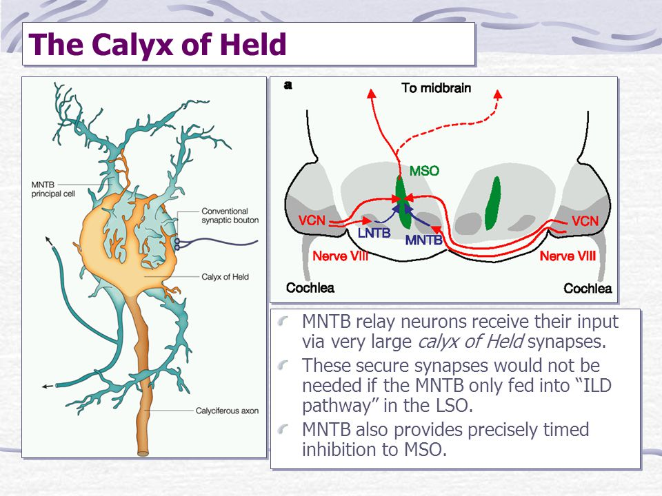 The Calyx of Held MNTB relay neurons receive their input via very large calyx of Held synapses.