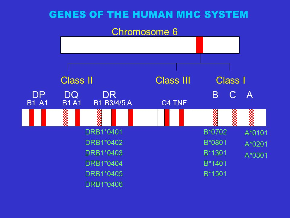 GENES OF THE HUMAN MHC SYSTEM
