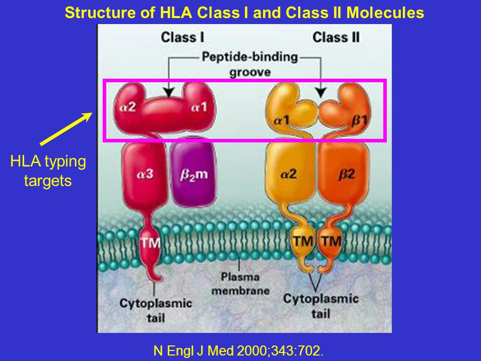 Structure of HLA Class I and Class II Molecules