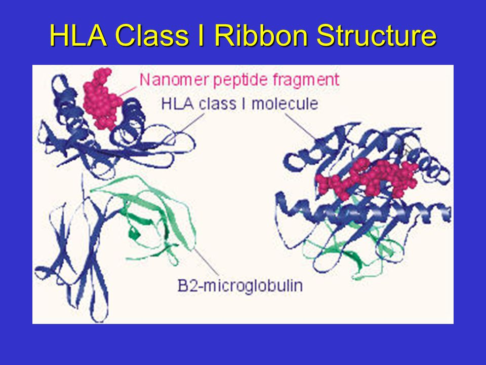 HLA Class I Ribbon Structure