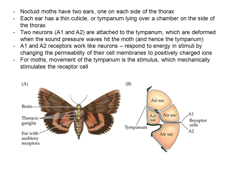 Noctuid moths have two ears, one on each side of the thorax