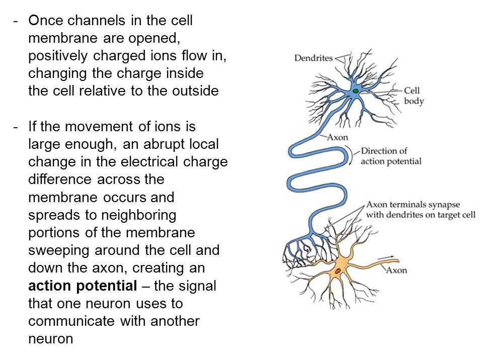 Once channels in the cell membrane are opened, positively charged ions flow in, changing the charge inside the cell relative to the outside