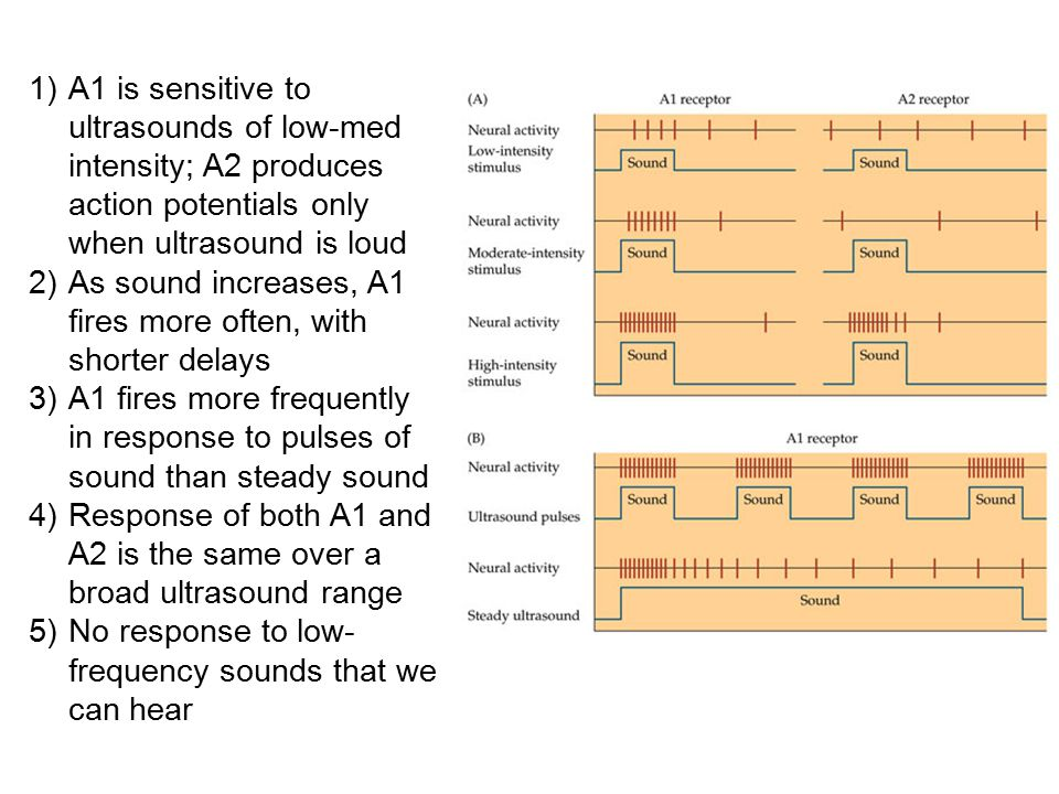 A1 is sensitive to ultrasounds of low-med intensity; A2 produces action potentials only when ultrasound is loud