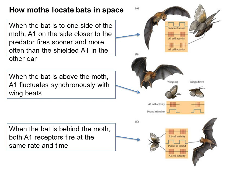 How moths locate bats in space