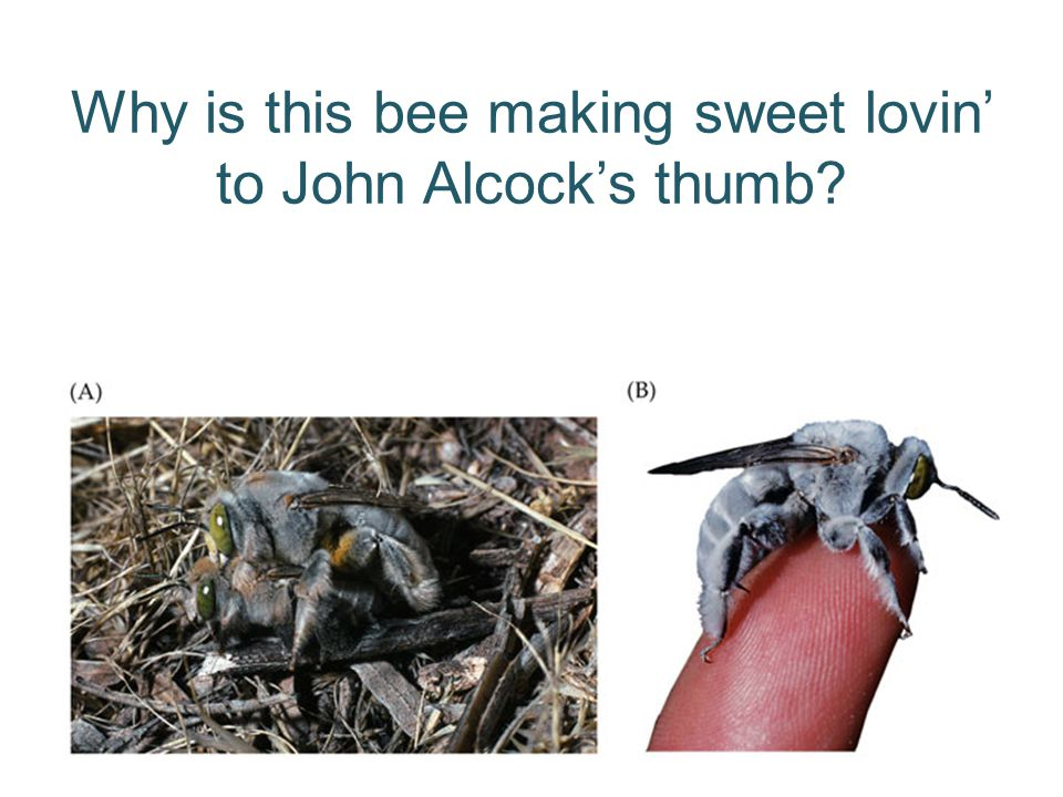 Why is this bee making sweet lovin' to John Alcock's thumb