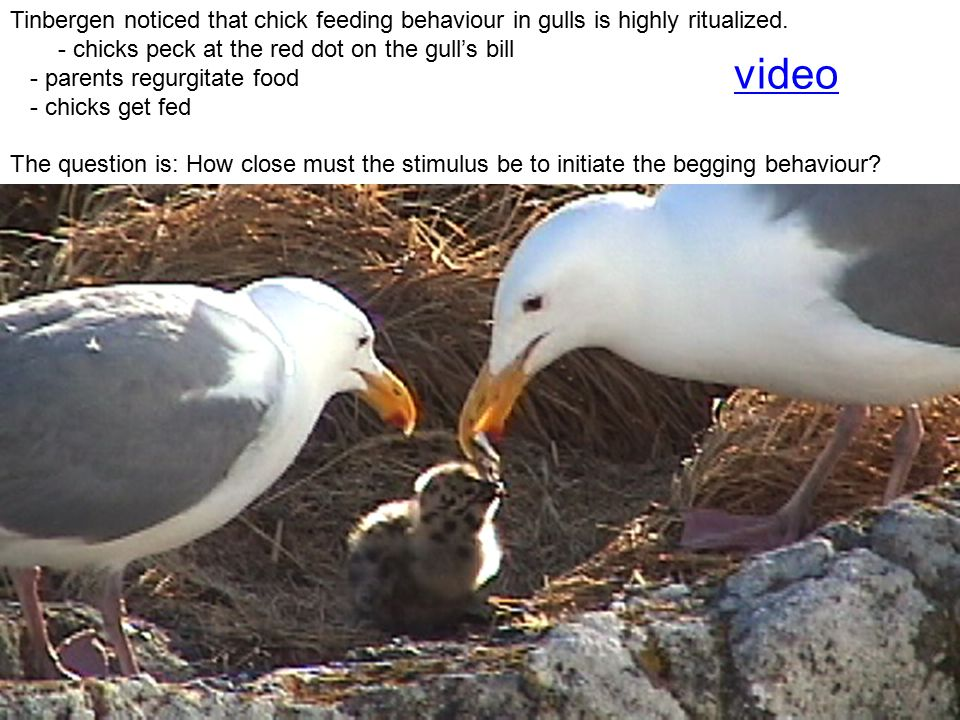 Tinbergen noticed that chick feeding behaviour in gulls is highly ritualized.