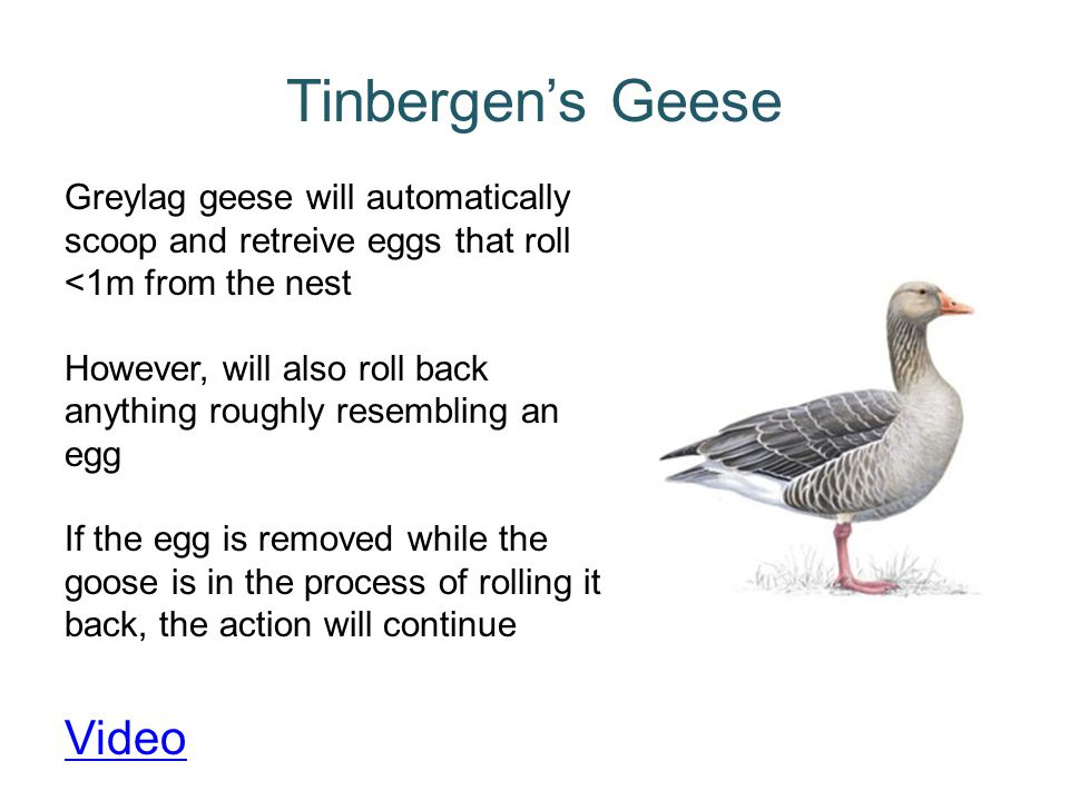 Tinbergen's Geese Video