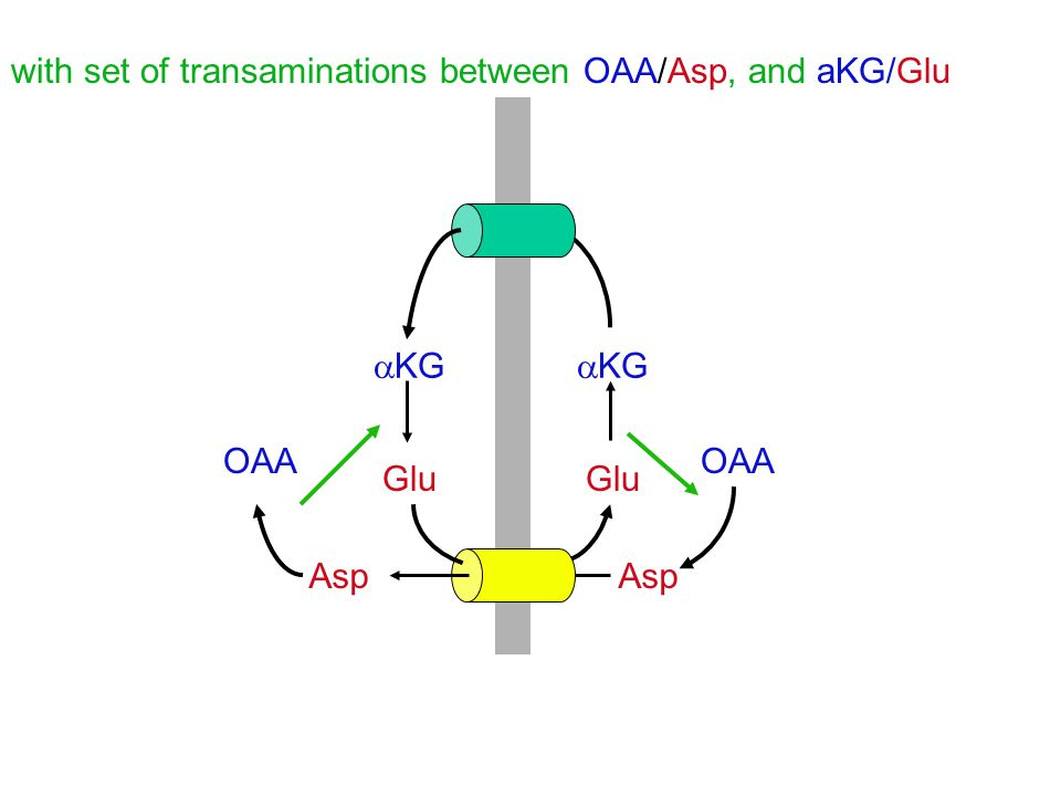 with set of transaminations between OAA/Asp, and aKG/Glu