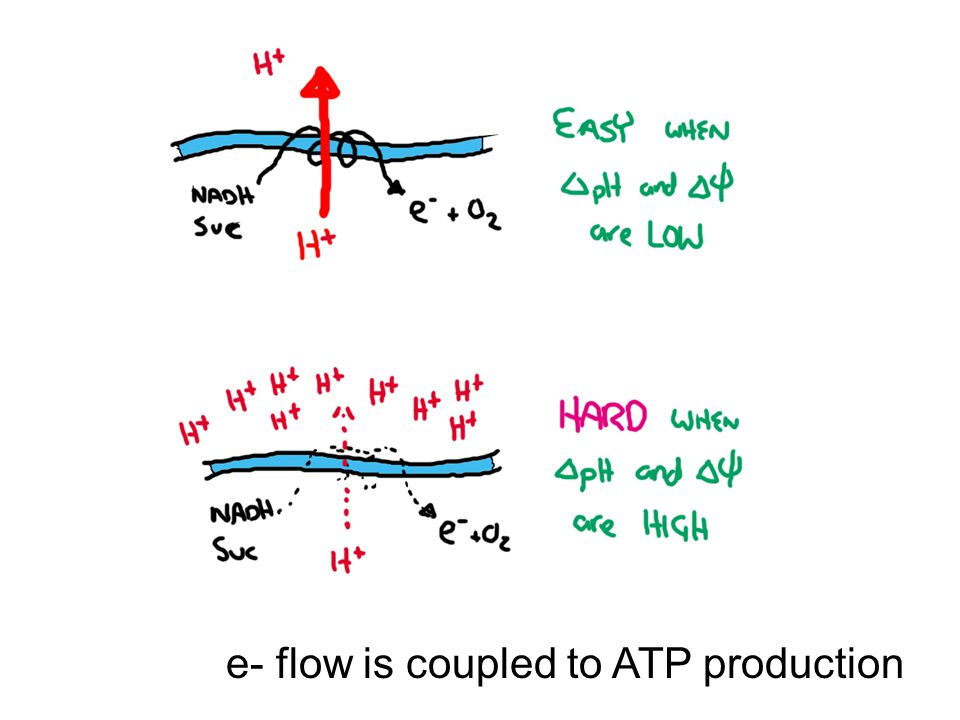 e- flow is coupled to ATP production