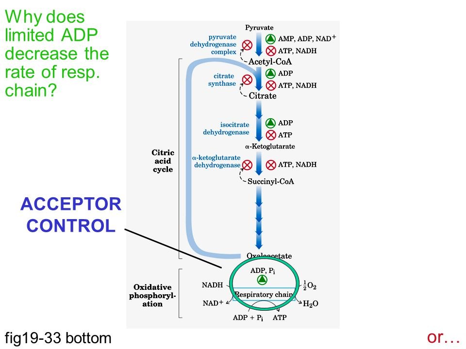 Why does limited ADP decrease the rate of resp. chain ACCEPTOR