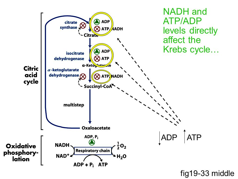 NADH and ATP/ADP levels directly