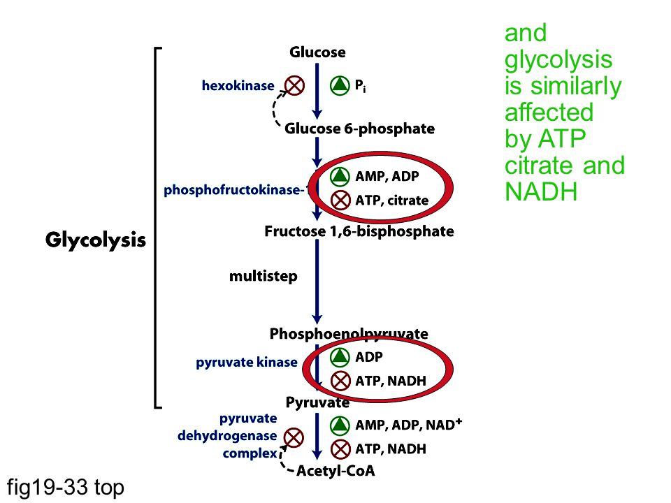 and glycolysis is similarly affected by ATP citrate and NADH