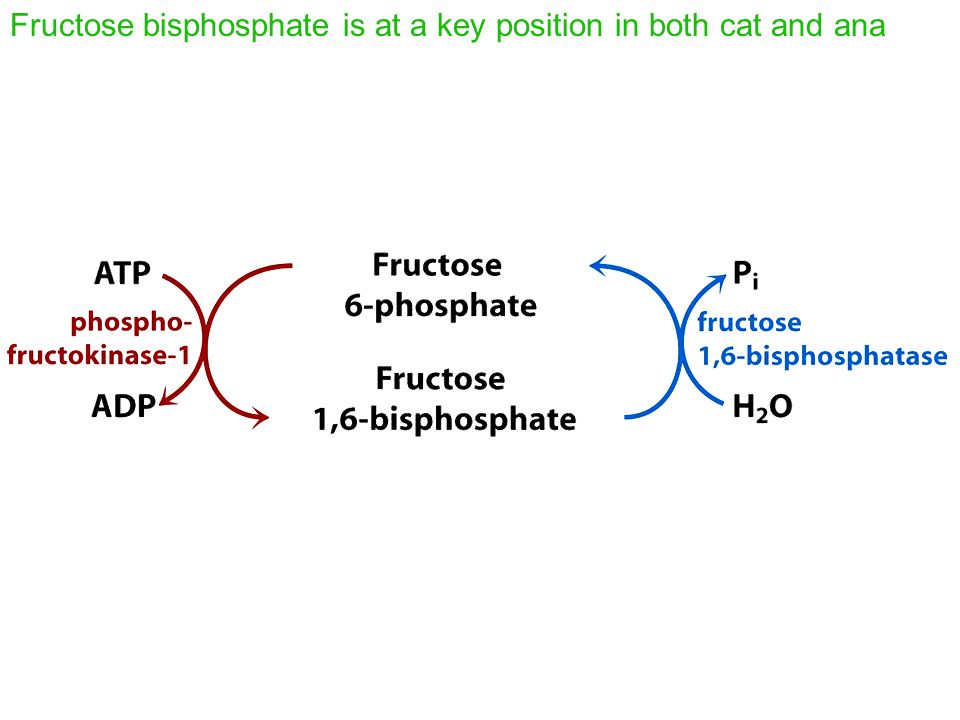 Fructose bisphosphate is at a key position in both cat and ana