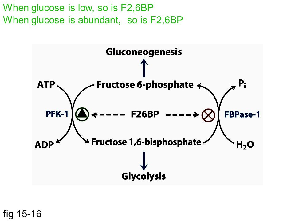 When glucose is low, so is F2,6BP
