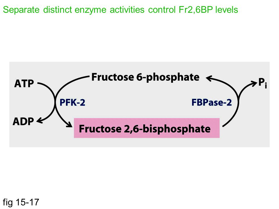 Separate distinct enzyme activities control Fr2,6BP levels