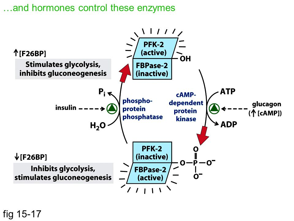 …and hormones control these enzymes