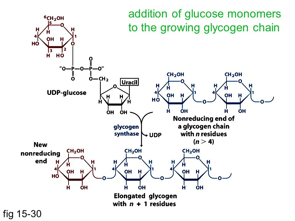 addition of glucose monomers to the growing glycogen chain