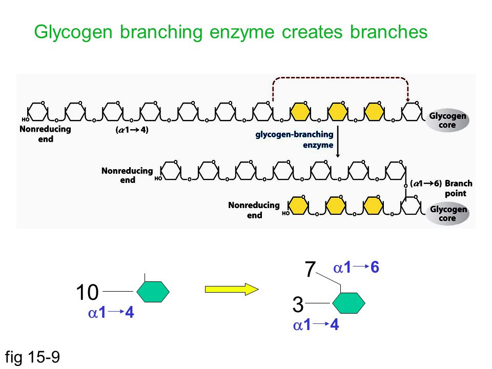 Glycogen branching enzyme creates branches