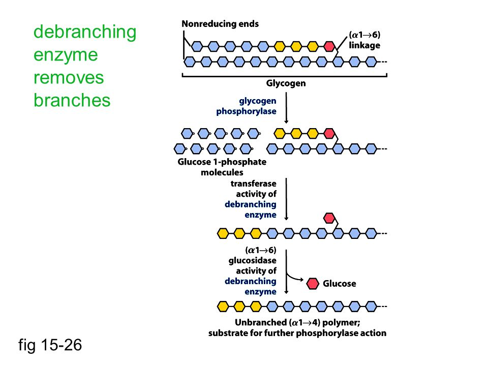 debranching enzyme removes branches fig 15-26