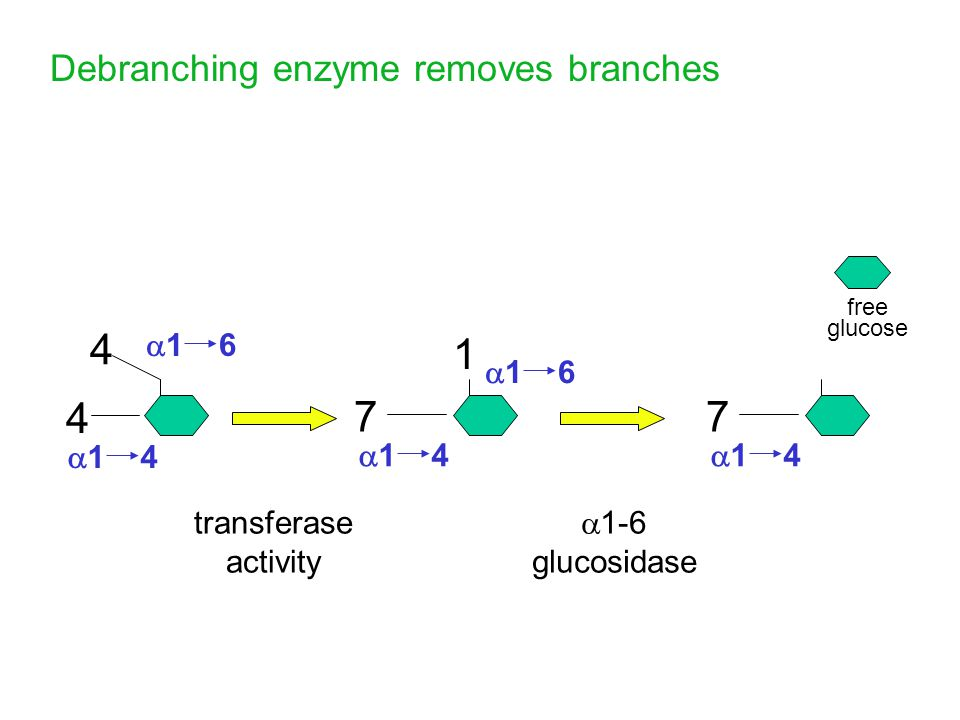 7 4 7 1 Debranching enzyme removes branches a1 4 a1 6 a1 4 a1 4 a1 6
