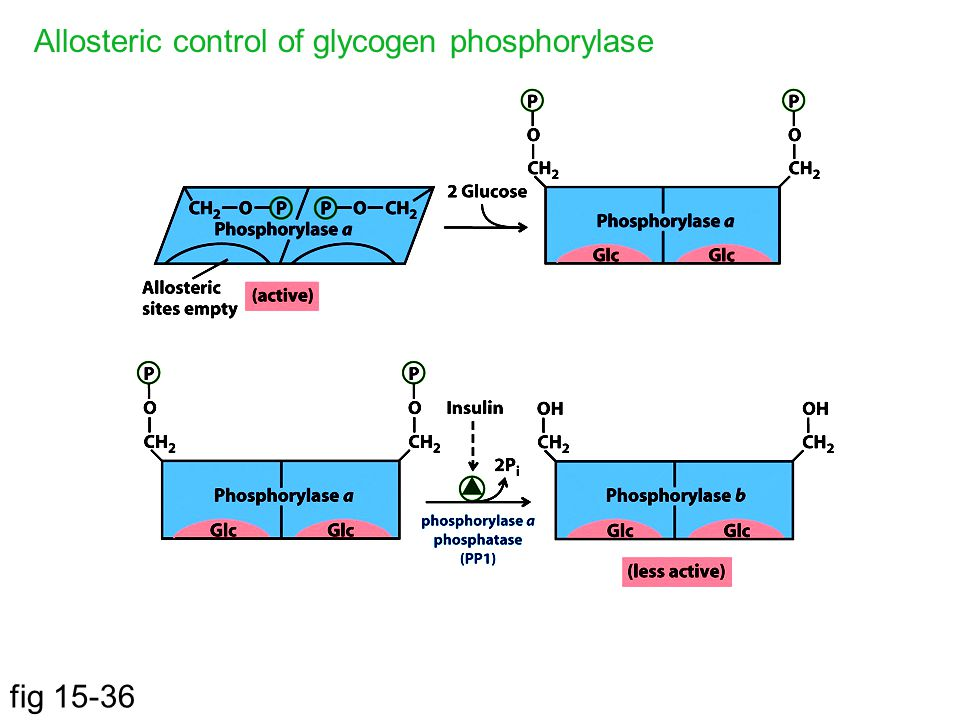 Allosteric control of glycogen phosphorylase