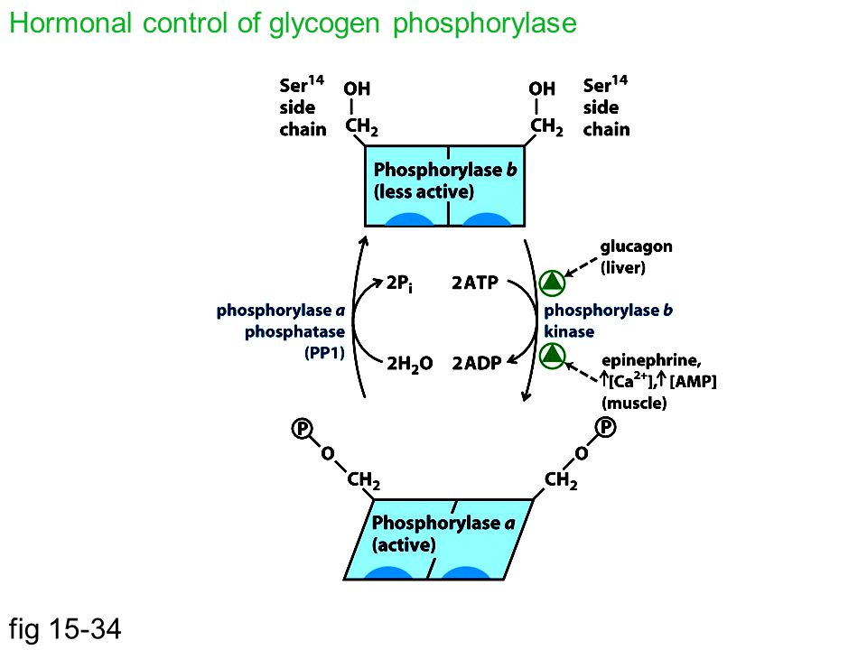 Hormonal control of glycogen phosphorylase