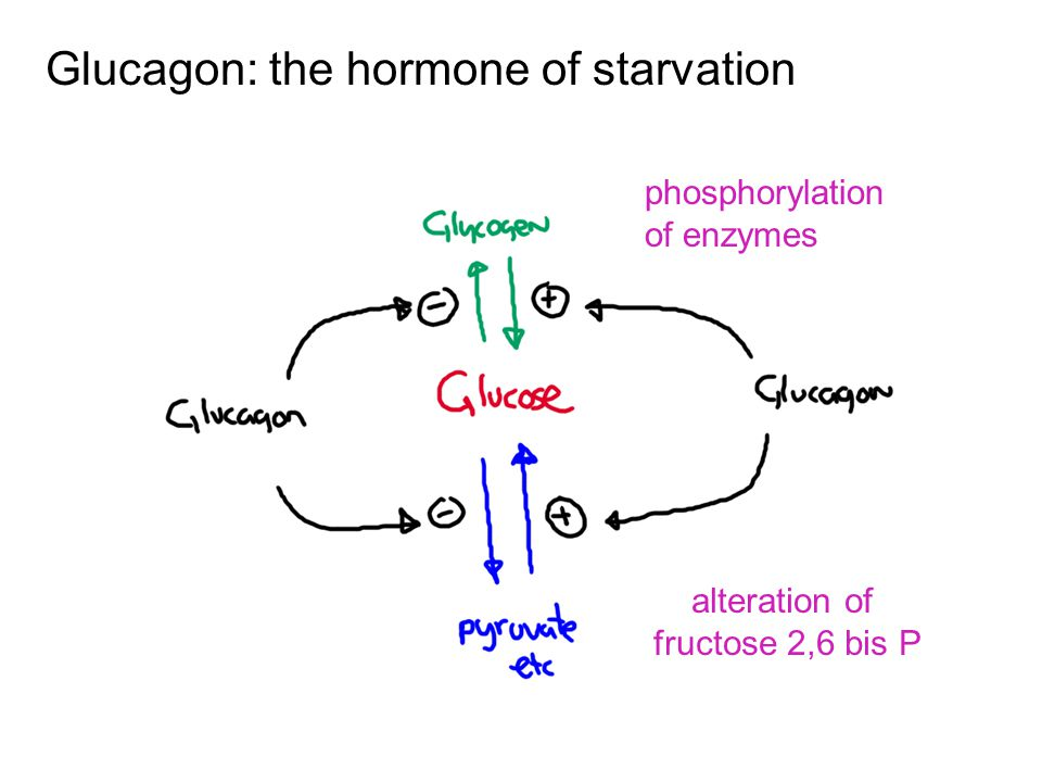 Glucagon: the hormone of starvation