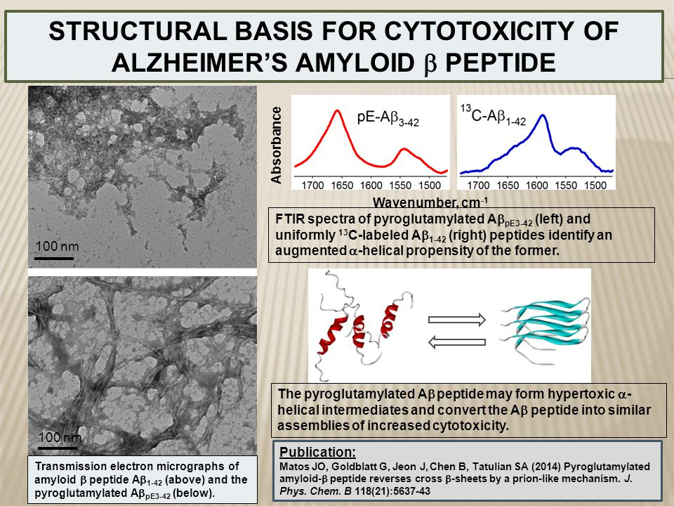 STRUCTURAL BASIS FOR CYTOTOXICITY OF ALZHEIMER'S AMYLOID b PEPTIDE