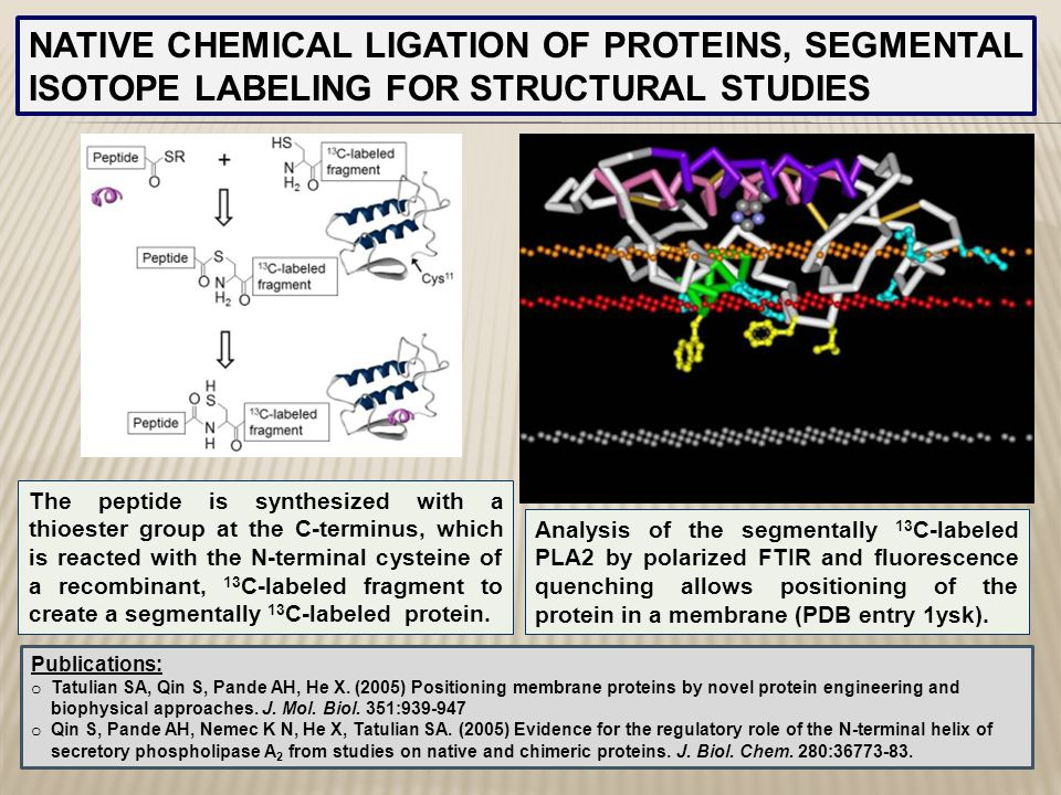 NATIVE CHEMICAL LIGATION OF PROTEINS, SEGMENTAL ISOTOPE LABELING FOR STRUCTURAL STUDIES