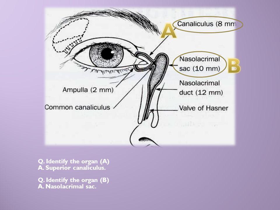 A B Q. Identify the organ (A) A. Superior canaliculus.
