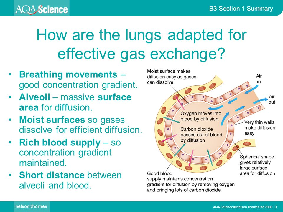How are the lungs adapted for effective gas exchange
