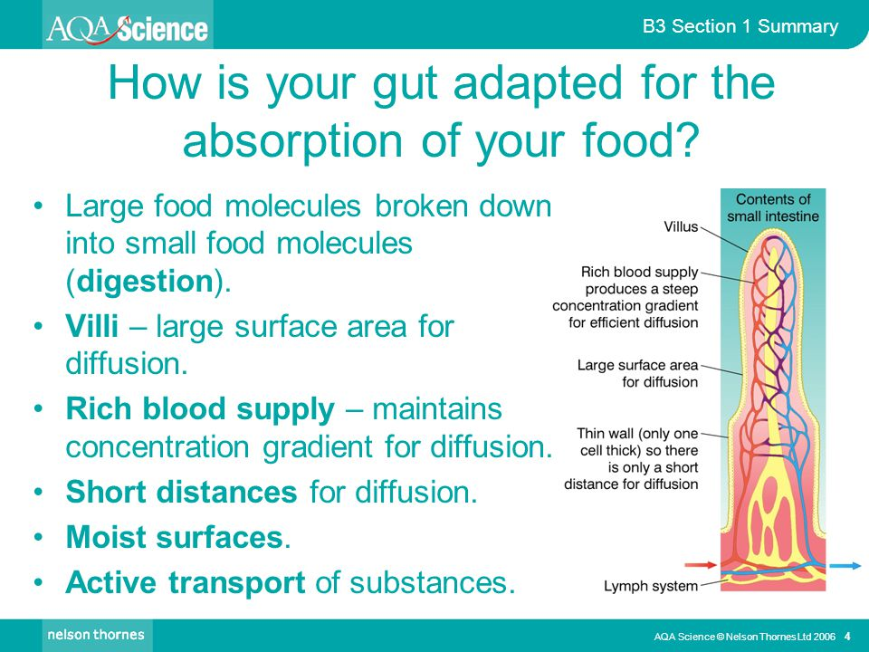 How is your gut adapted for the absorption of your food