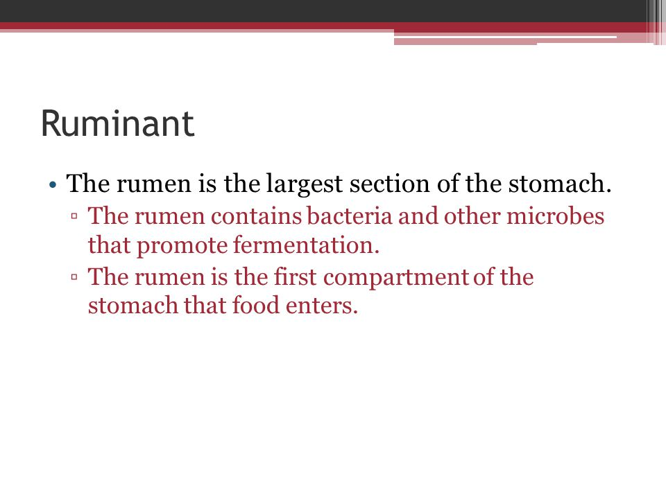 Ruminant The rumen is the largest section of the stomach.