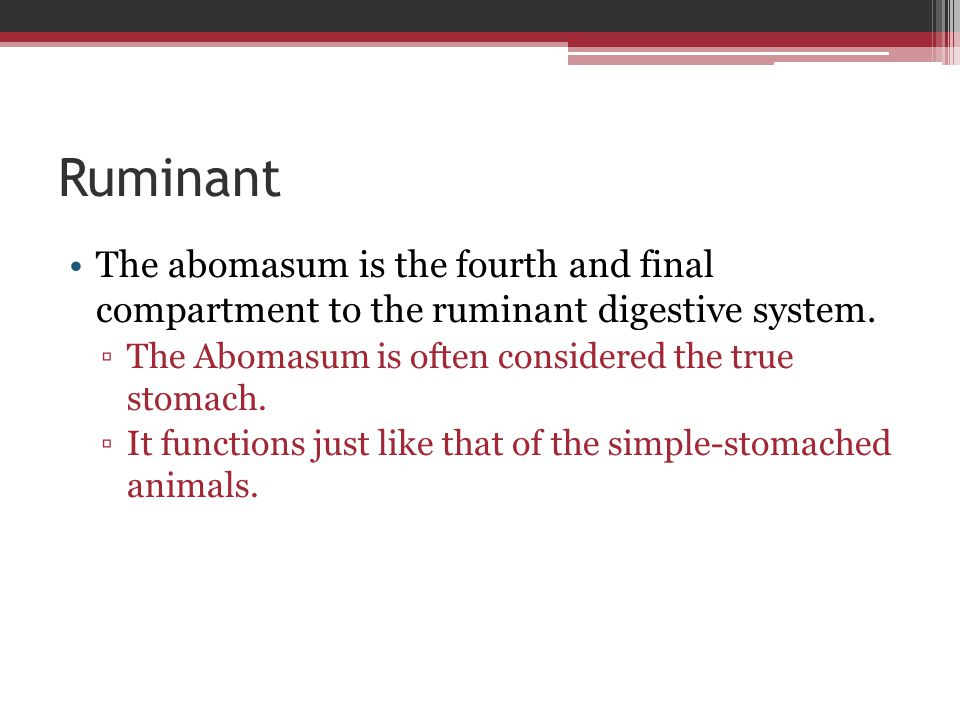 Ruminant The abomasum is the fourth and final compartment to the ruminant digestive system. The Abomasum is often considered the true stomach.