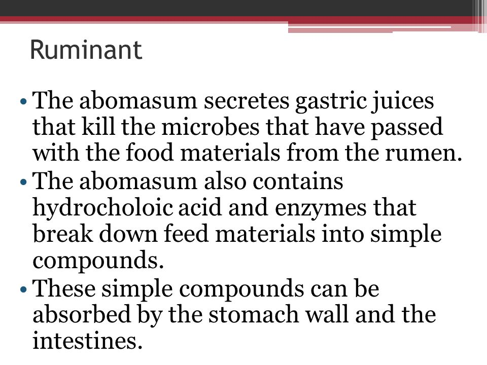 Ruminant The abomasum secretes gastric juices that kill the microbes that have passed with the food materials from the rumen.