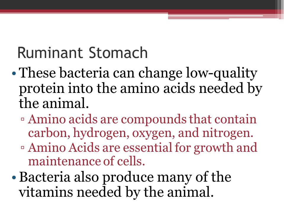Ruminant Stomach These bacteria can change low-quality protein into the amino acids needed by the animal.