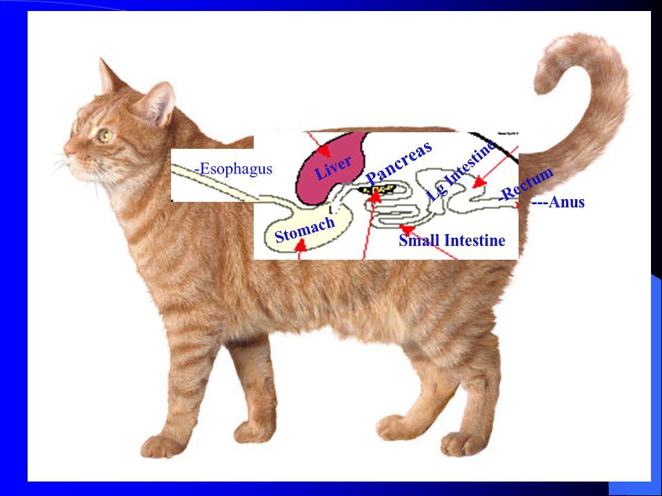 Pancreas Lg Intestine -Esophagus Liver -Rectum ---Anus Stomach