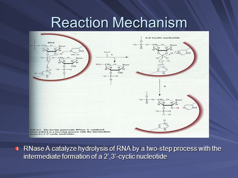 Reaction Mechanism RNase A catalyze hydrolysis of RNA by a two-step process with the intermediate formation of a 2',3'-cyclic nucleotide.