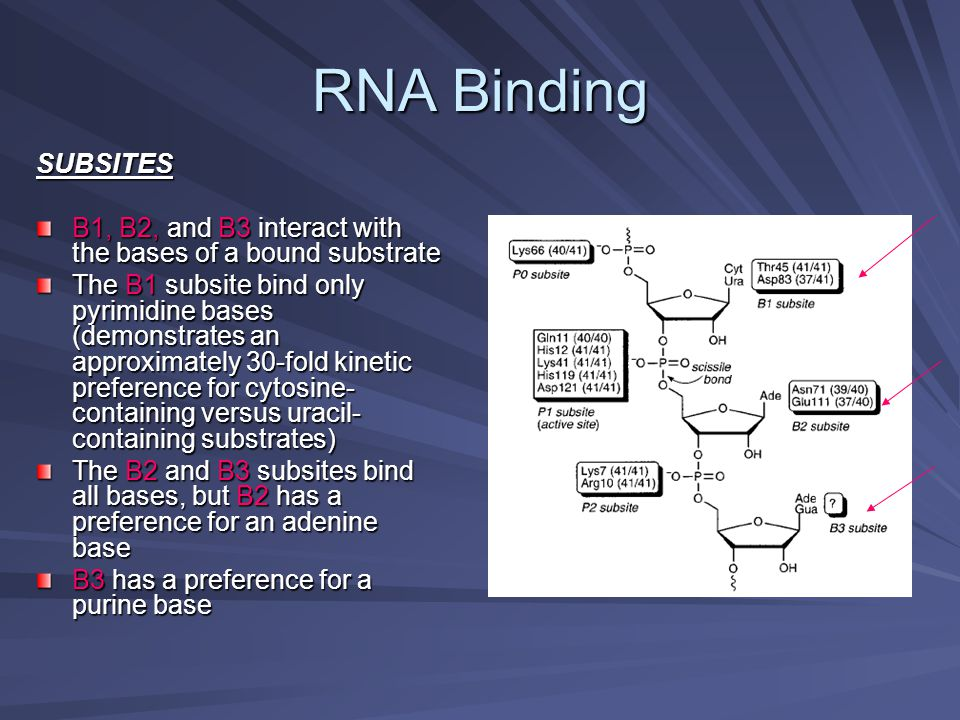 RNA Binding SUBSITES. B1, B2, and B3 interact with the bases of a bound substrate.